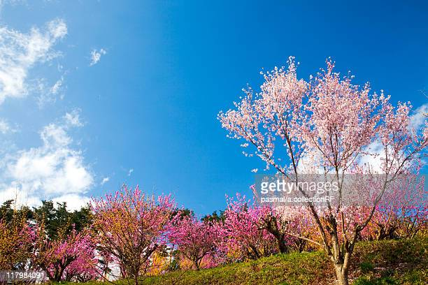 Cherry and Peach Blossom Trees