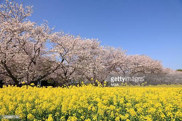 Cherry and Rape Blossoms, Saito, Miyazaki, Japan