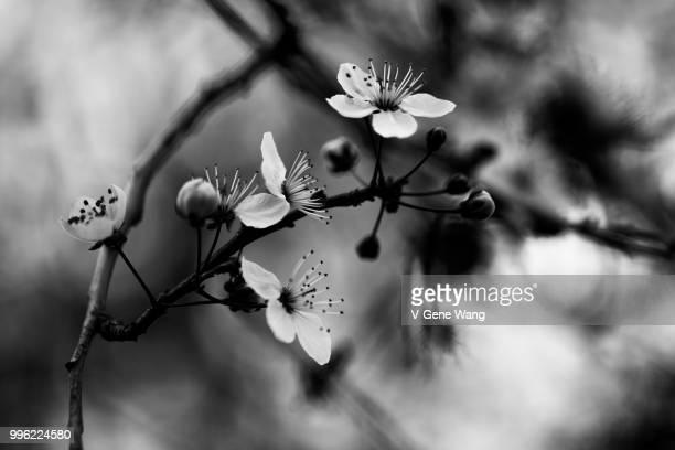 cherry bloom - gene wang 個照片及圖片檔