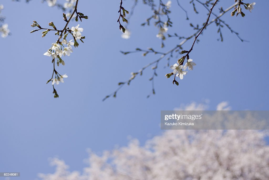 cherry bloosoms in the park : Stock Photo