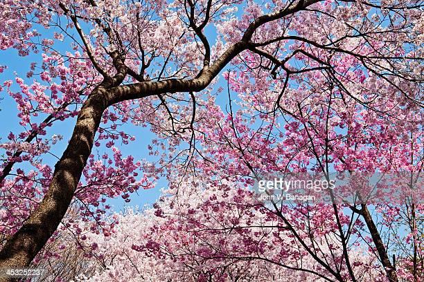 Cherry blosom trees,Tokyo