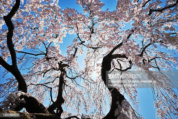 Cherry blossom against clear sky