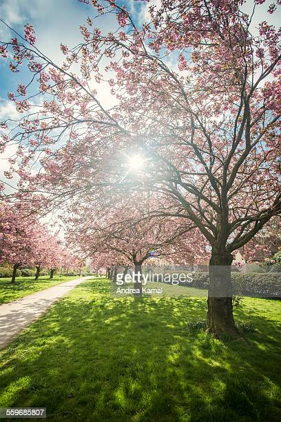 A Cherry blossom alley on a sunny early morning