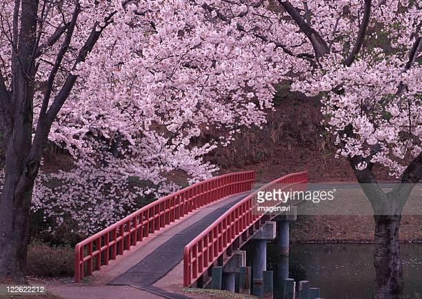 cherry blossom and bridge - 新潟県 ストックフォトと画像