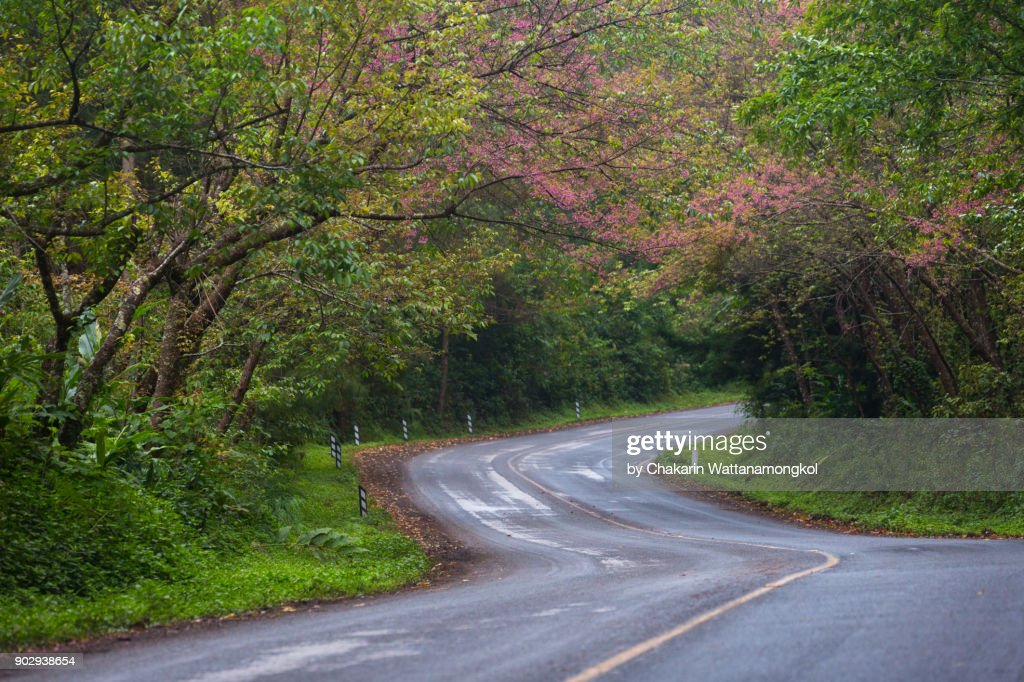 Cherry Blossom and Curved Road. : Stock Photo