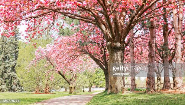 cherry blossom and foot path - cherry tree stock photos and pictures