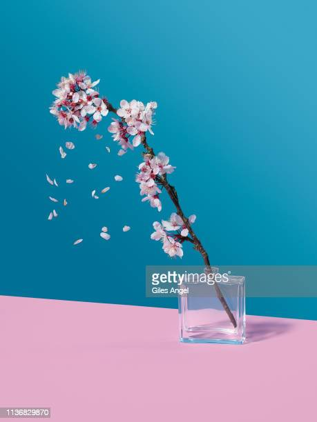 cherry blossom and glass jar - ramo parte della pianta foto e immagini stock