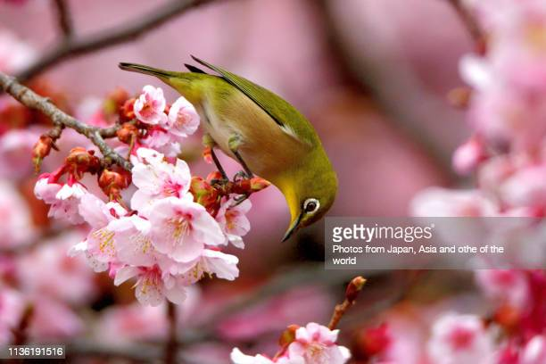 cherry blossom and japanese white-eye bird - bloesem stockfoto's en -beelden