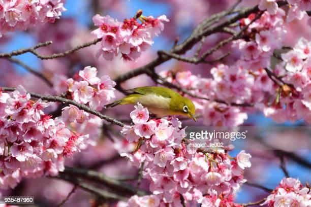 fleur de cerisier et zostérops du japon - mois de mars photos et images de collection