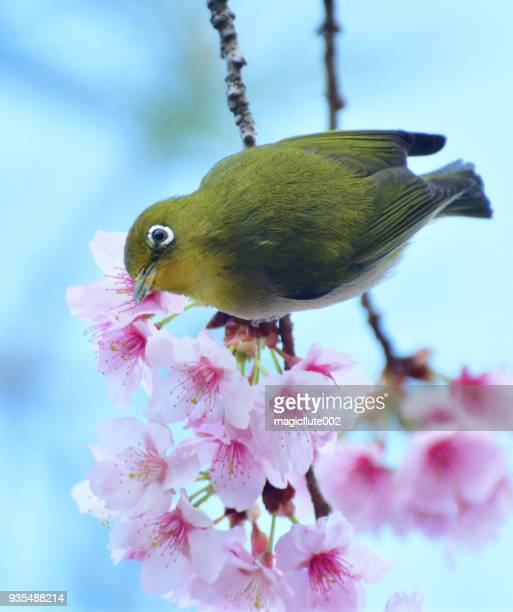 cherry blossom and japanese white-eye - march month stock pictures, royalty-free photos & images