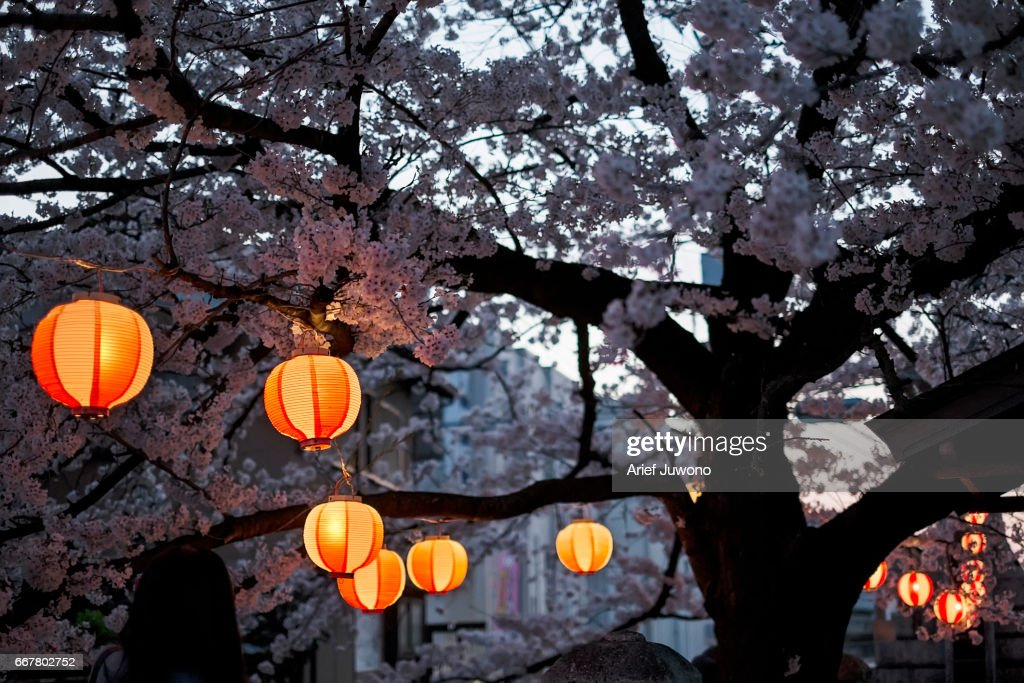 Cherry blossom and lantern : Stock Photo