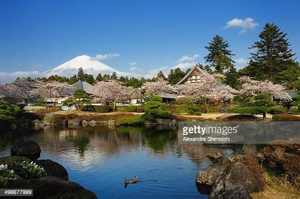 Cherry Blossom and Mt. Fuji