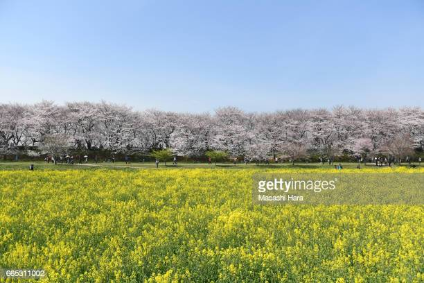 Cherry blossom and rapeseed are in full bloom at Gongendo Tsutsumi on April 6, 2017 in Satte, Saitama, Japan. The blossom reached its peak in Tokyo,...