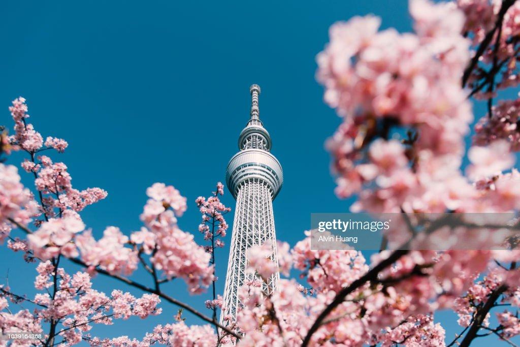 Cherry Blossom and Sakura with Tokyo Sky Tree in Japan. : Foto de stock