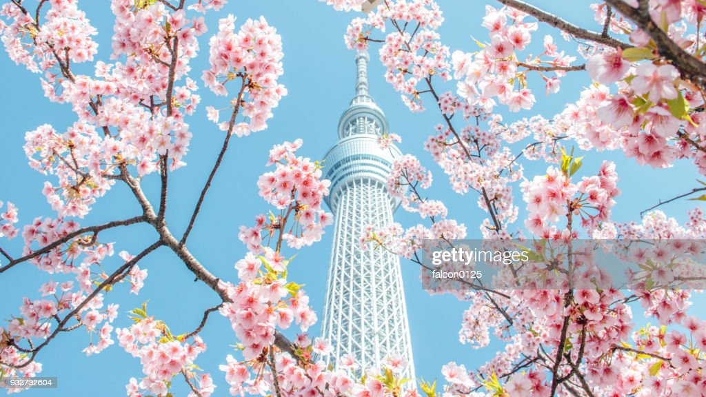 Cherry blossom and skytree, tokyo, japan : Stock Photo
