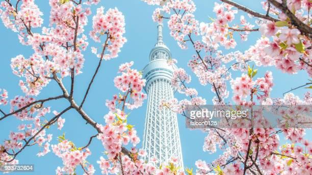 cherry blossom and skytree, tokyo, japan - tóquio - fotografias e filmes do acervo
