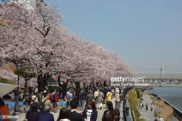 Cherry blossom at Asakusa