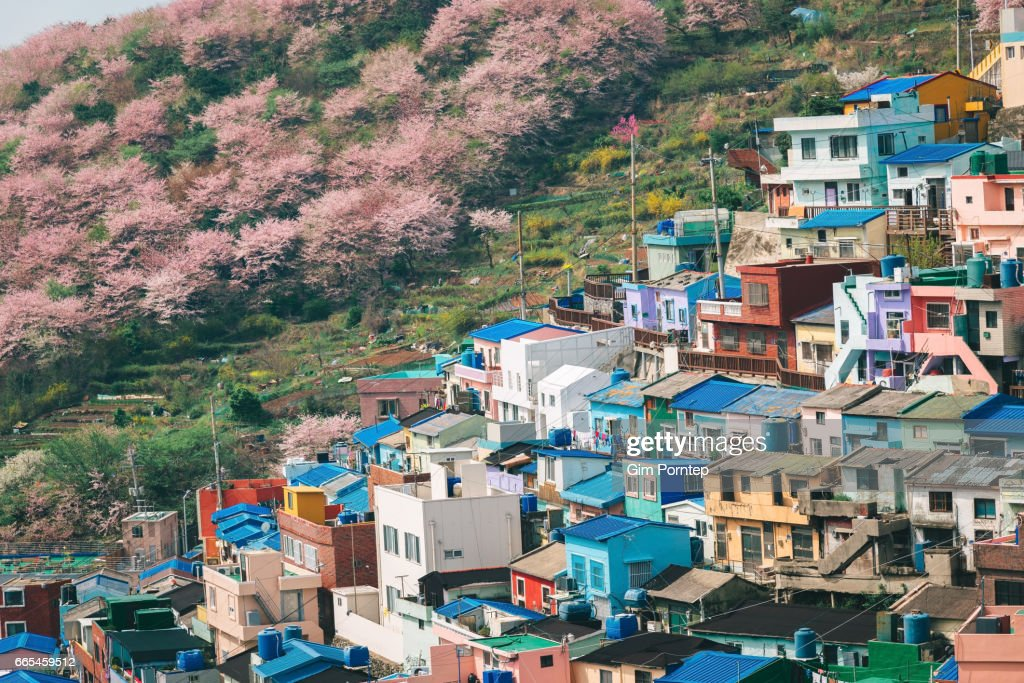 Cherry blossom at gamcheon culture village in busan , south korea : Stock Photo