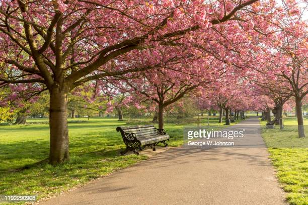 cherry blossom at greenwich park ii - fruit tree stock pictures, royalty-free photos & images