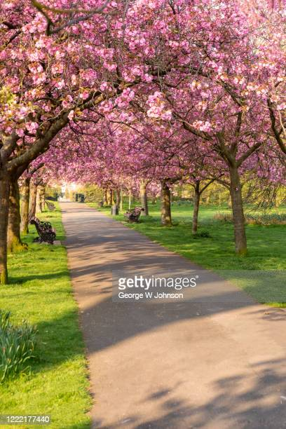 cherry blossom at greenwich park ii - cherry blossom stock pictures, royalty-free photos & images