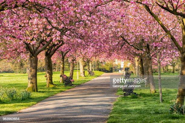 cherry blossom at greenwich park - richmond upon thames stock pictures, royalty-free photos & images