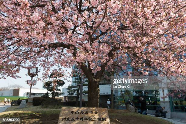 Cherry blossom at Nakayama Racecourse on February 28 2016 in Funabashi Chiba Japan Nakayama Racecourse established in 1920 it is the feature...