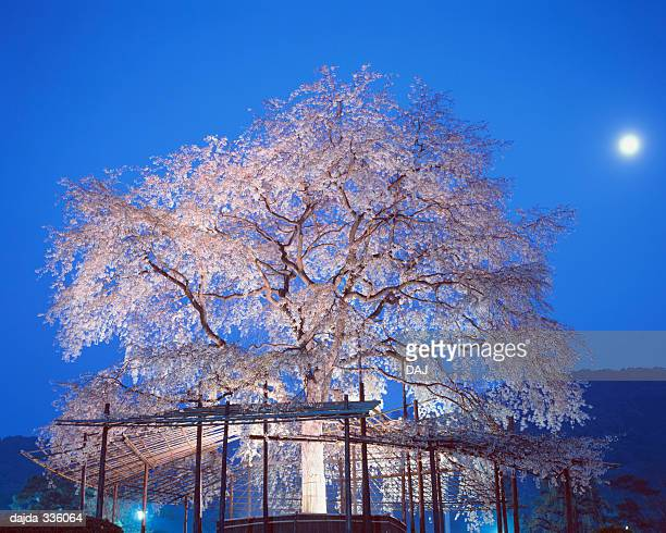 A Cherry Blossom at Night