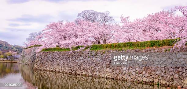 Cherry Blossom at the bank