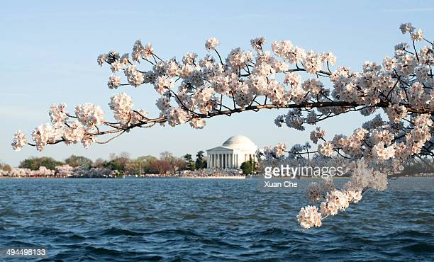 cherry blossom at thomas jefferson memorial - frische stockfoto's en -beelden