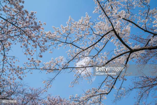 cherry blossom at ueno park, tokyo - editorial stock pictures, royalty-free photos & images