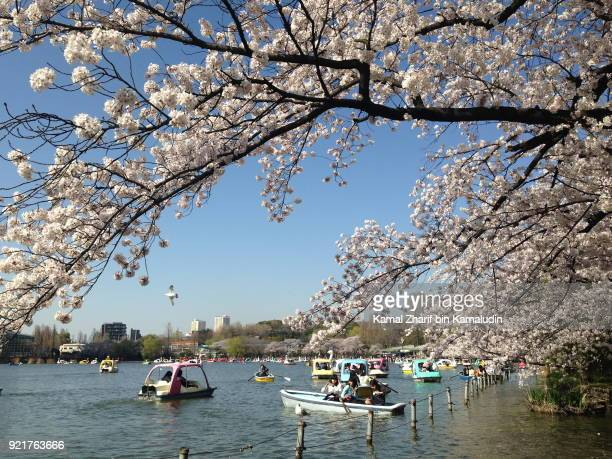 Cherry blossom at Ueno