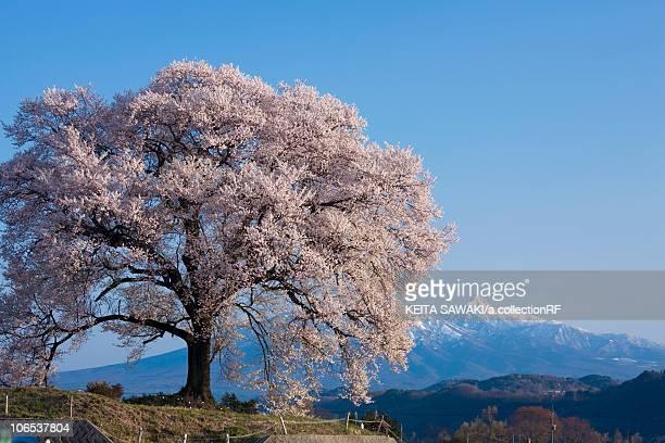 cherry blossom at wanizuka mt. yatsugatake, yamanashi prefecture, honshu, japan - 一つ ストックフォトと画像