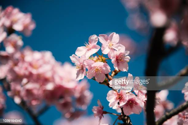 cherry blossom before a blue sky in spring - cherry blossom in full bloom in tokyo stock pictures, royalty-free photos & images