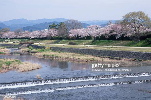 cherry blossom blooming along the riverside - fluss kamo stock-fotos und bilder