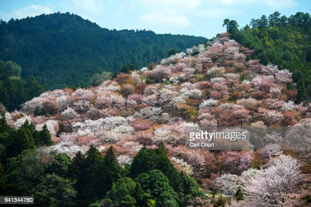 Cherry blossom blooms on a hillside near Mount Yoshino on April 3 2018 in Yoshino Japan The town of Yoshino in Nara Prefecture has become famous...