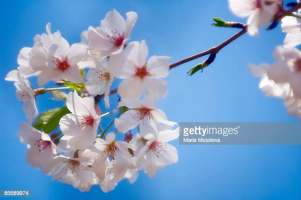 Cherry Blossom, Blue Sky