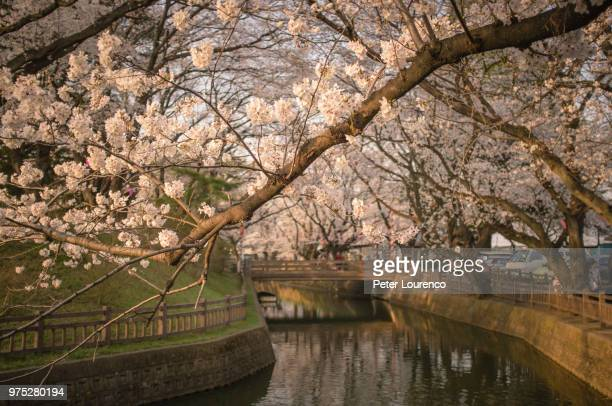 cherry blossom branches above a river. - peter lourenco stock pictures, royalty-free photos & images