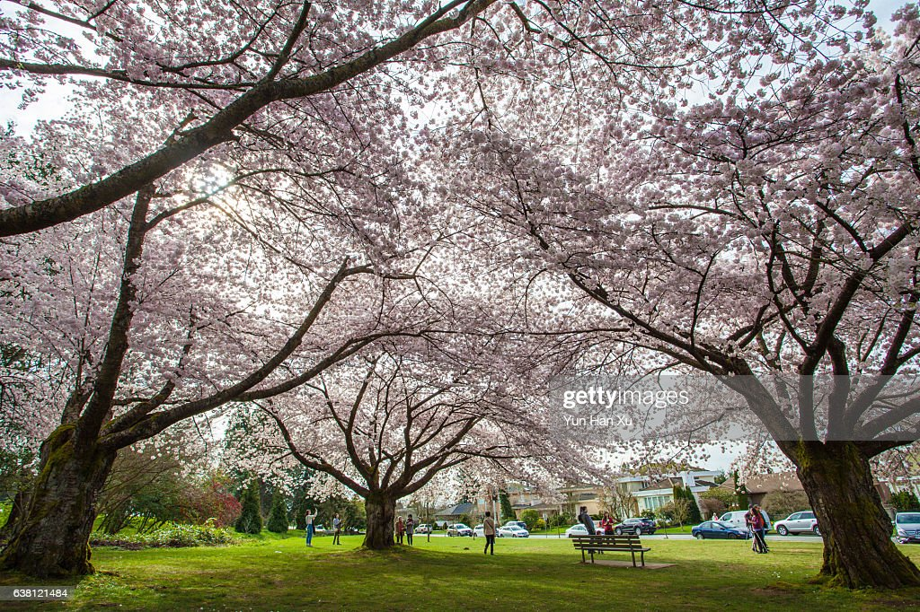 Cherry Blossom Canopy in Queen Elizabeth Park Vancouver  Stock Photo & Cherry Blossom Canopy In Queen Elizabeth Park Vancouver Stock ...
