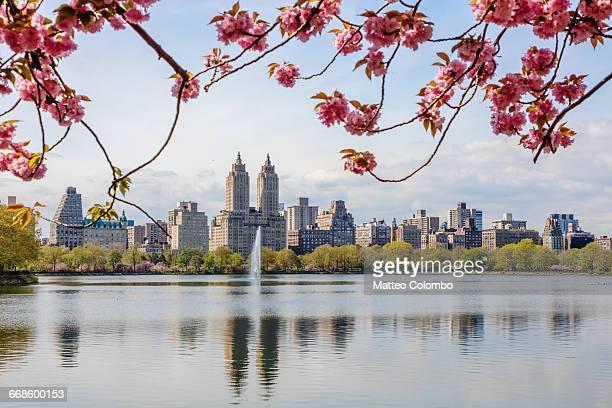 cherry blossom, central park, new york, usa - central park manhattan - fotografias e filmes do acervo