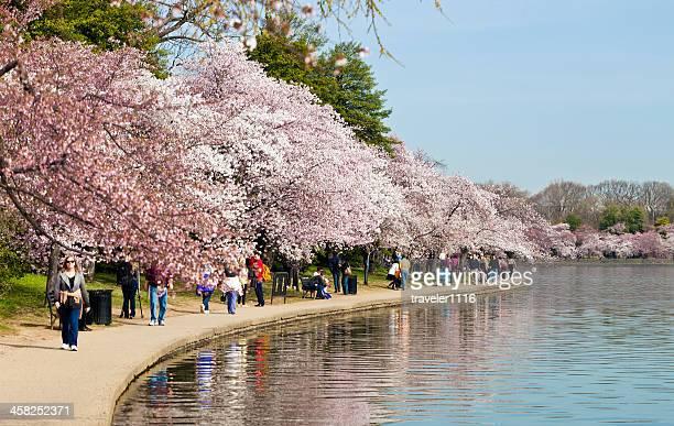 Fiesta del cerezo en flor en Washington DC, EE. UU.