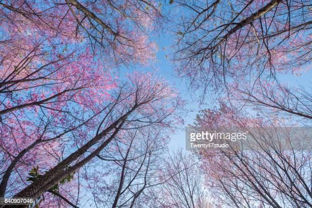 Cherry blossom field