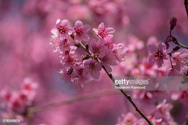 Cherry blossom Flower at Phu Lom Lo