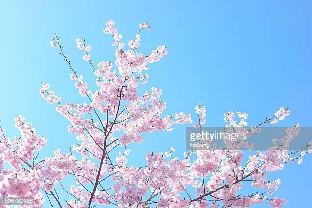 Cherry blossom. Flowering cherry tree. Clear blue sky
