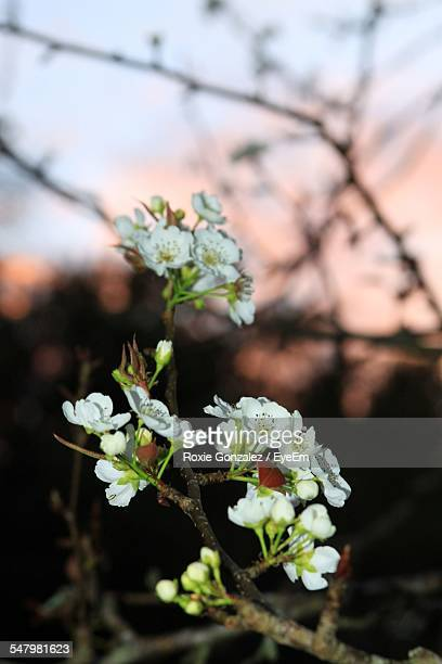 Cherry Blossom Flowers During Sunset