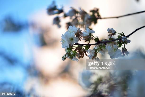 Cherry Blossom  - Flowers on Cherry tree branch