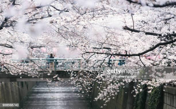 Cherry blossom (sakura) full bloom in Tokyo, Japan