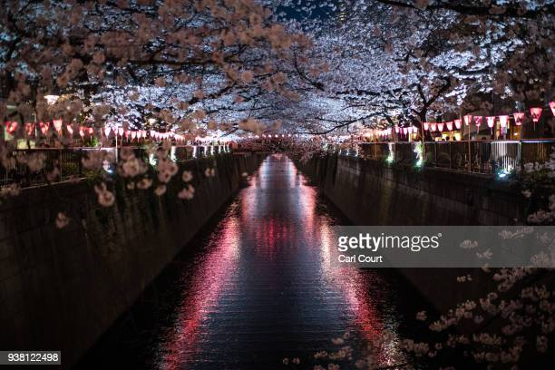 Cherry blossom hangs over the Meguro River in Nakameguro on March 26 2018 in Tokyo Japan The Japanese have a longheld tradition of enjoying the...