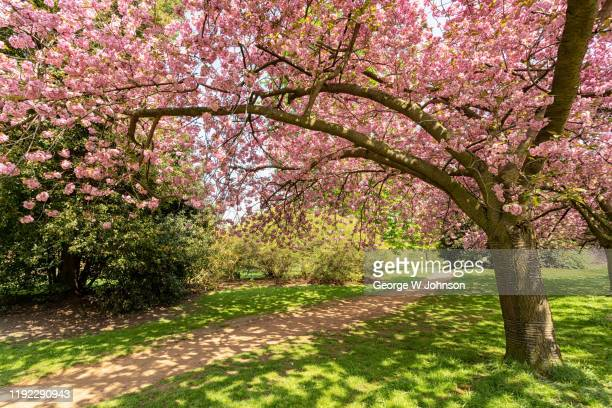cherry blossom ii - blossom stock pictures, royalty-free photos & images