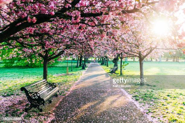 cherry blossom in greenwich park, london - stock photo - leisure activity stock pictures, royalty-free photos & images