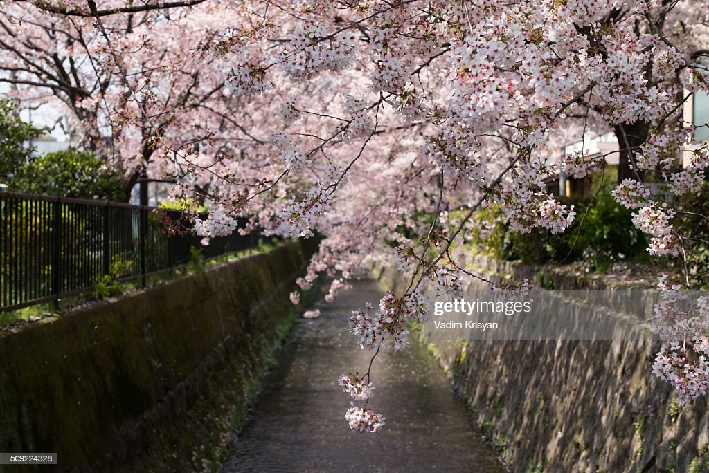 Cherry Blossom in Kyoto : Stock Photo